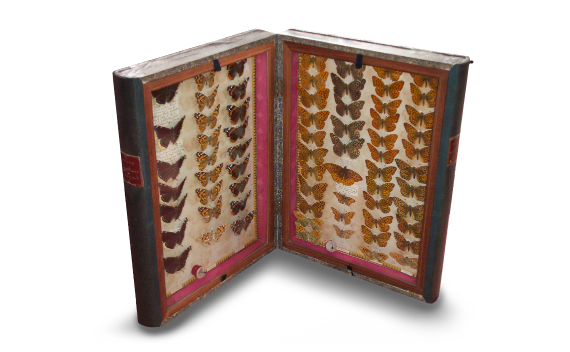 One of the cases described by Morris (Morris, 1857) which contains the specimen in question (right panel, 2nd column from left, 6th butterfly down). Photo © 2020 Mike Mead-Briggs.