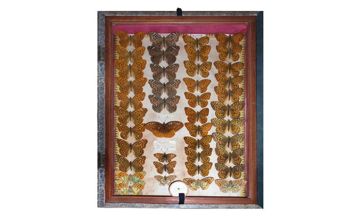 Detailed view of the same display case. The specimen in question immediately below the Valensina Silver-washed Fritillaries. Photo © 2020 Mike Mead-Briggs.