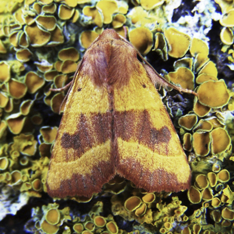 Centre-barred Sallow © 2019 Ben Coleman