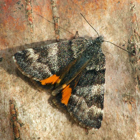 Orange Underwing © 2020 Butterfly Conservation