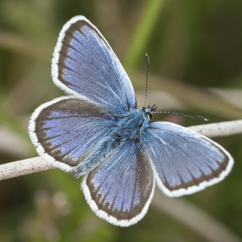 Silver-studded Blue © 2020 Steven Cheshire
