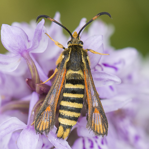 Six-belted Clearwing © 2019 Steven Cheshire