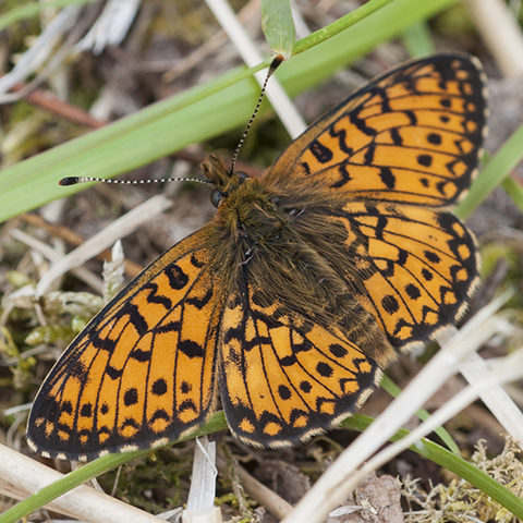 Small Pearl-bordered Fritillary © 2019 Steven Cheshire