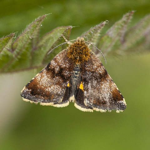 Small Yellow Underwing © 2020 Steven Cheshire
