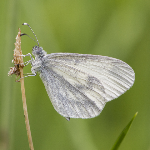 Wood White © 2019 Steven Cheshire