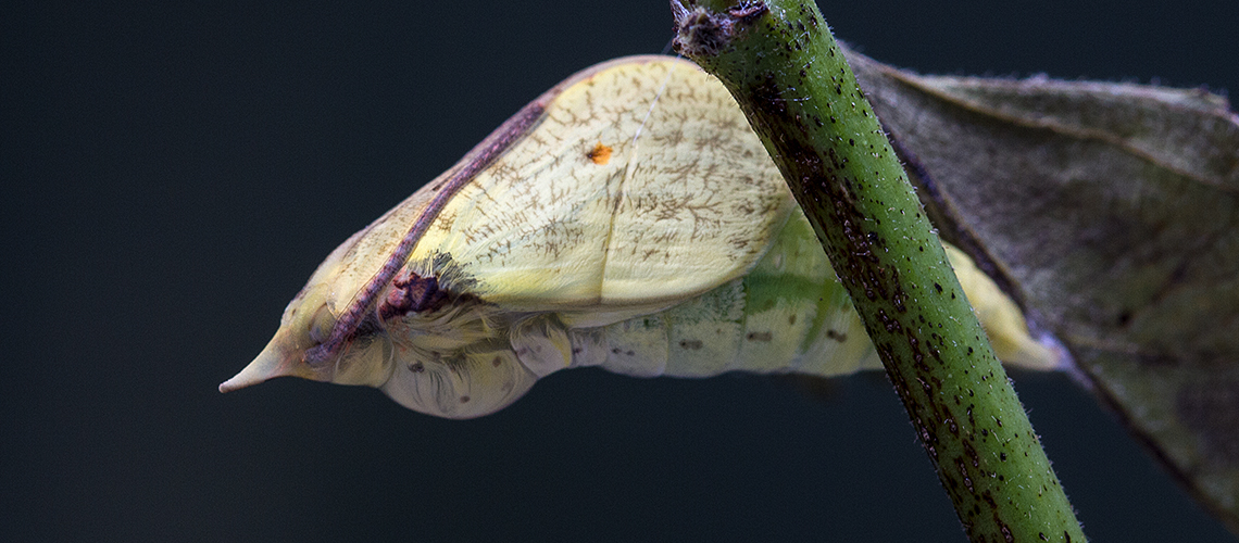 Brimstone pupa momnets before the adult butterfly emerges. © 2019 Keith Warmington.