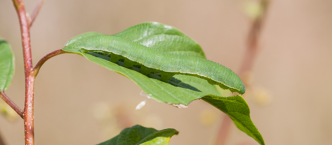 A Brimstone caterpillar resting on a Buckthorn leaf at Alvecote Wood. © 2014 -2019 Steven Cheshire.