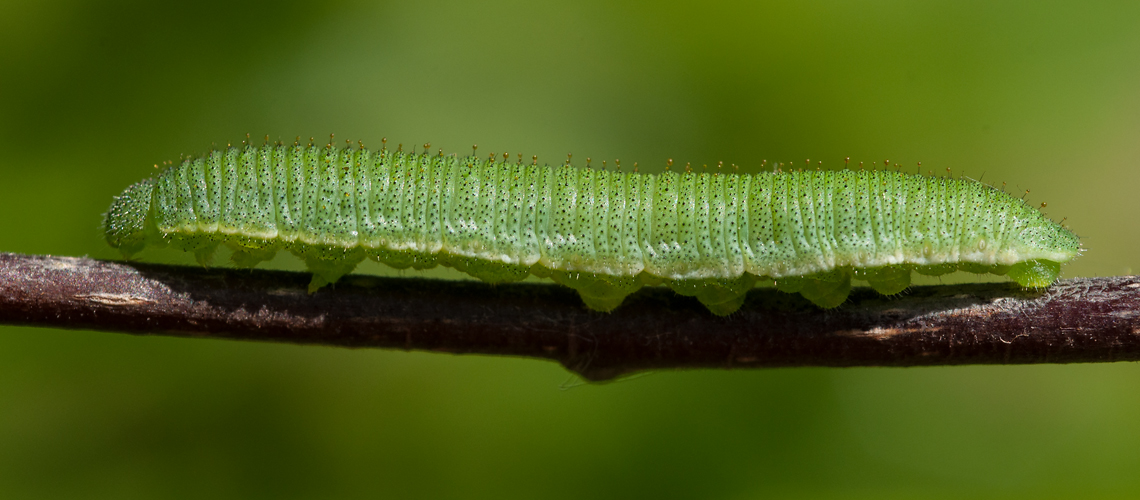 A Brimstone caterpillar resting on a Buckthorn leaf at Alvecote Wood. © 2011 -2019 Steven Cheshire.