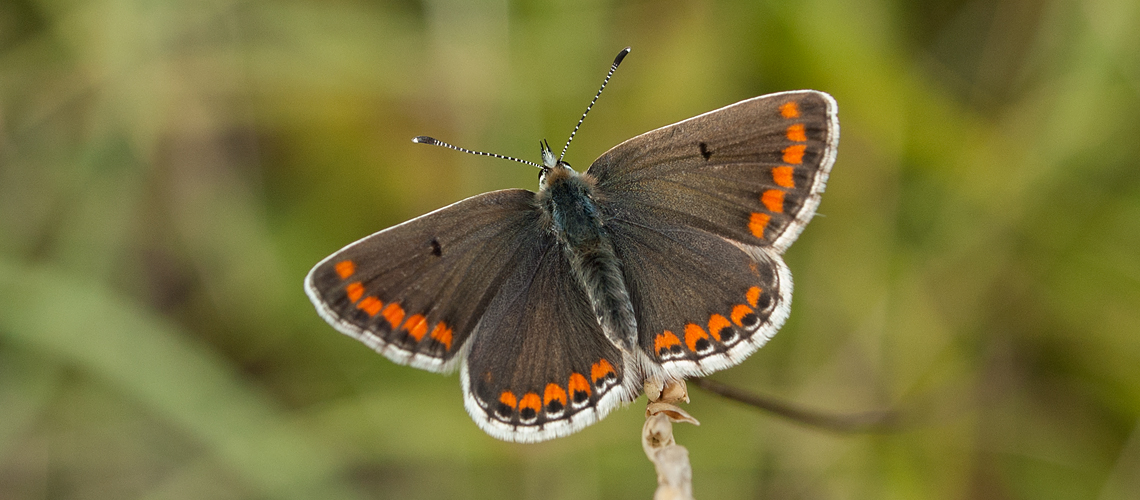 A female Brown Argus at Rodborough Common, Gloucestershire. © 2008 - 2019 Steven Cheshire.