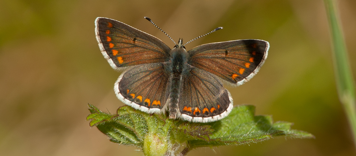 A male Brown Argus basking at Ryton Wood, near Coventry. © 2007 - 2019 Steven Cheshire.