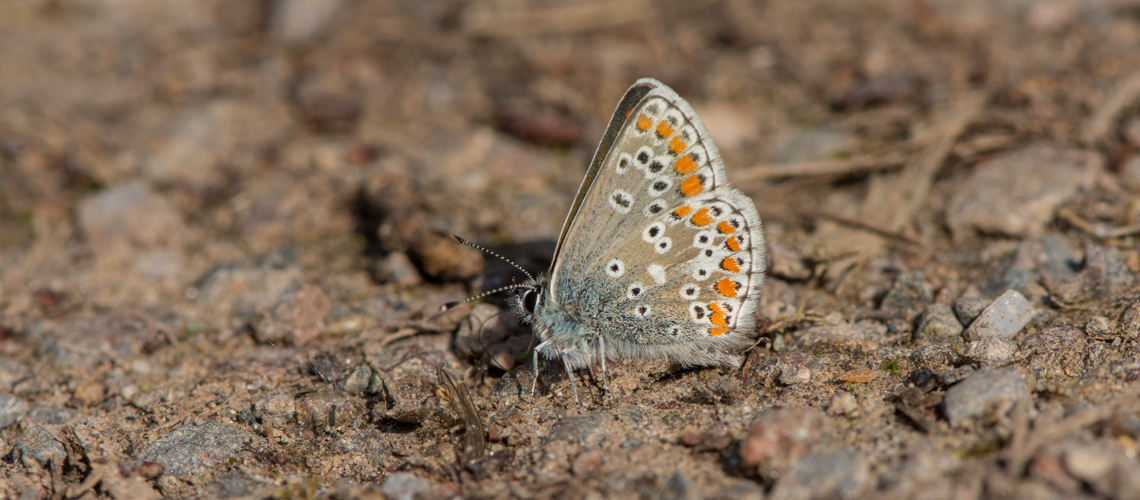 A male Brown Argus taking salts at Brandon Marsh. © 2016 - 2019 Steven Cheshire.