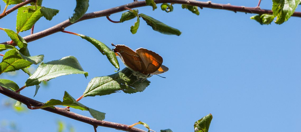 A female Brown Hairstreak basking in the canopy of a Blackthorn hedgerow at Bernwood Meadows. © 2008 - 2019 Steven Cheshire.