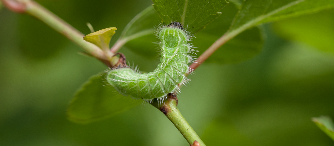 A final instar larva (caterpillar) of the Brown Hairstreak butterfly feeding on Blackthorn (<i>Prunus spinosa</i>). © 2011 - 2019 Steven Cheshire.