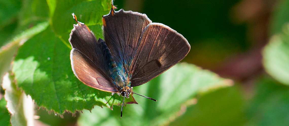 A male Brown Hairstreak basking at Ryton Wood Meadows. © 2011 - 2019 Terry Southgate.