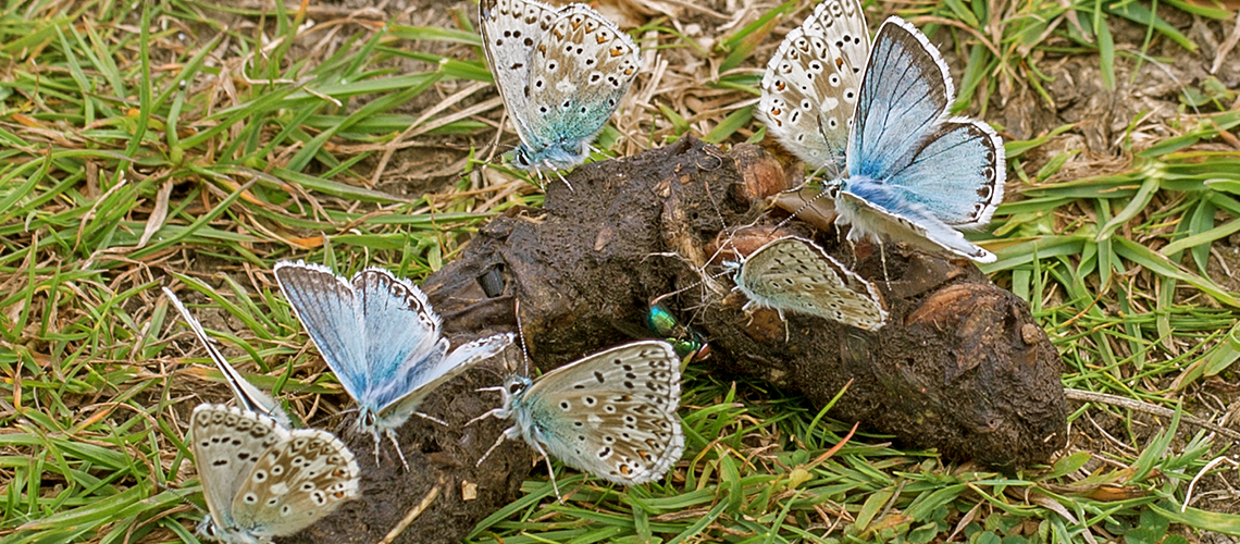 Chalk Hill Blues feeding on animal faeces © 2020 Keith Warmington.