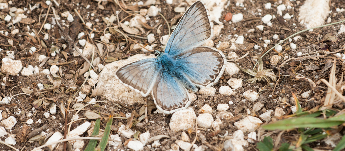 A male Chalk Hill Blue basking at Watlington Hill, Oxfordshire. © 2011 - 2020 Steven Cheshire.