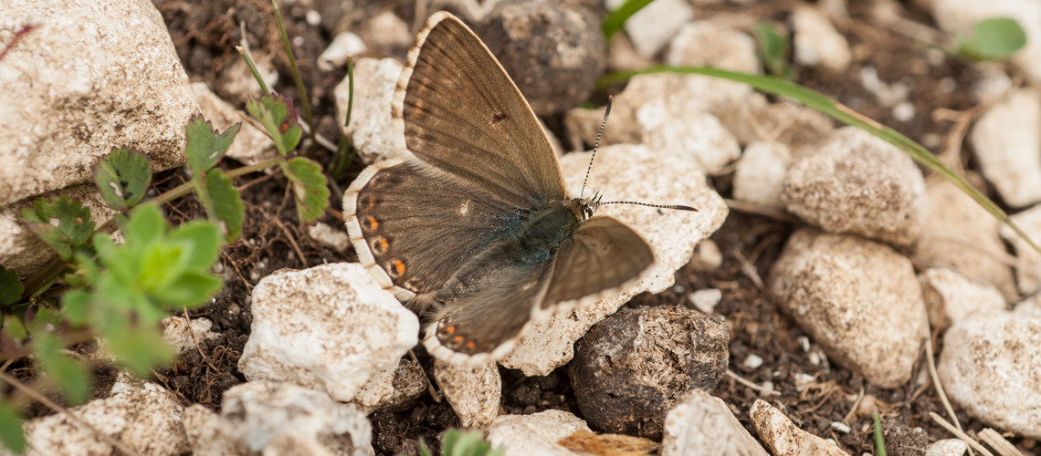 A female Chalk Hill Blue basking at Watlington Hill, Oxfordshire. © 2011 - 2020 Steven Cheshire.