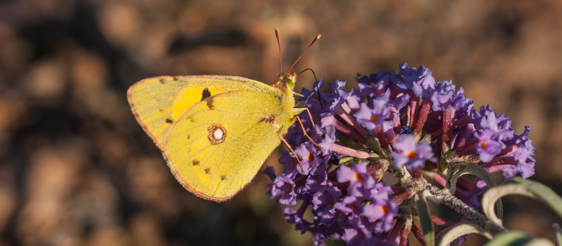 A Clouded Yellow at Judkins Quarry, Nuneaton © 2009 - 2019 Steven Cheshire.