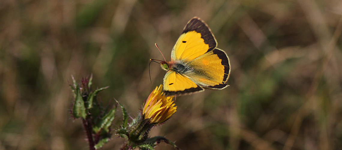A male Clouded Yellow at Bubbenhall Meadows © 2011 - 2019 Tony Penycate.