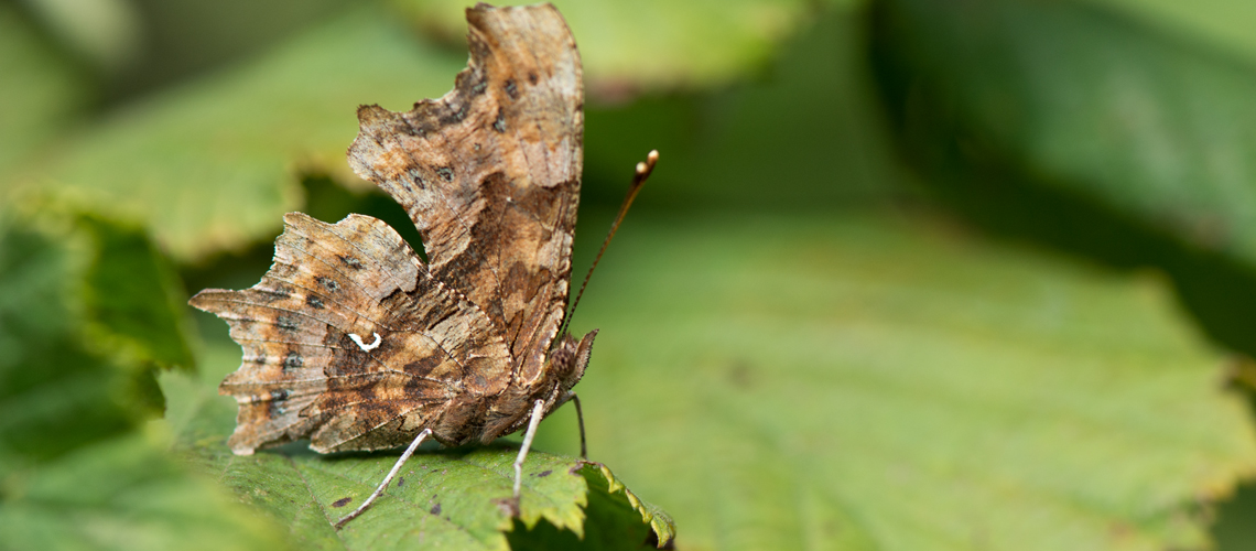 A Comma butterfly resting at Brandon Marsh Nature Reserve. © 2017 - 2019 Steven Cheshire.