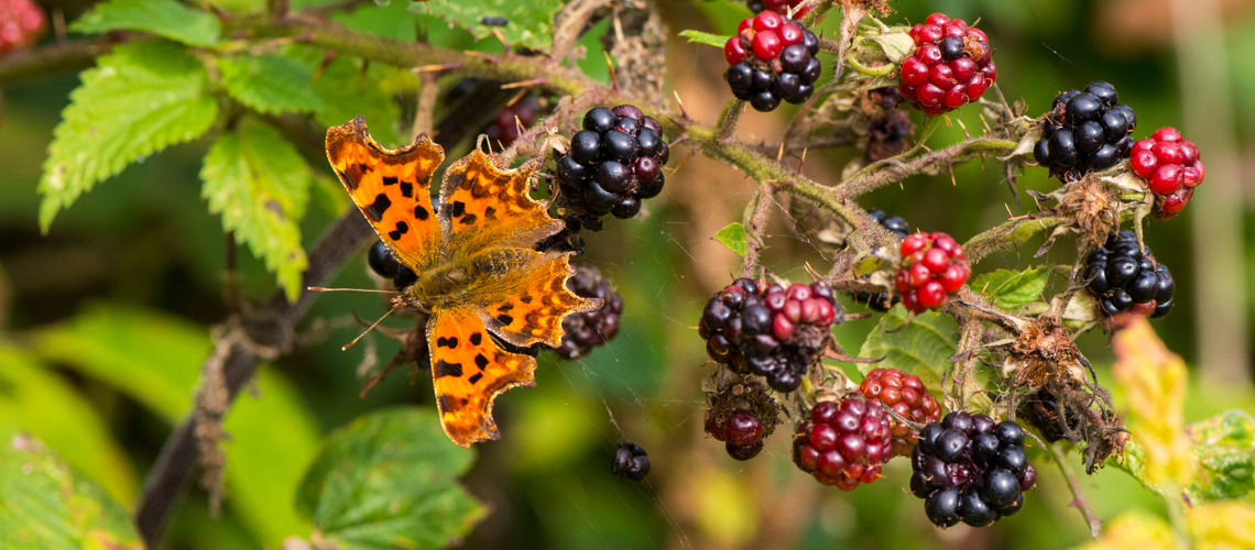 A Comma butterfly feeding on blackberries at Brandon Marsh Nature Reserve. © 2016 - 2019 Steven Cheshire.