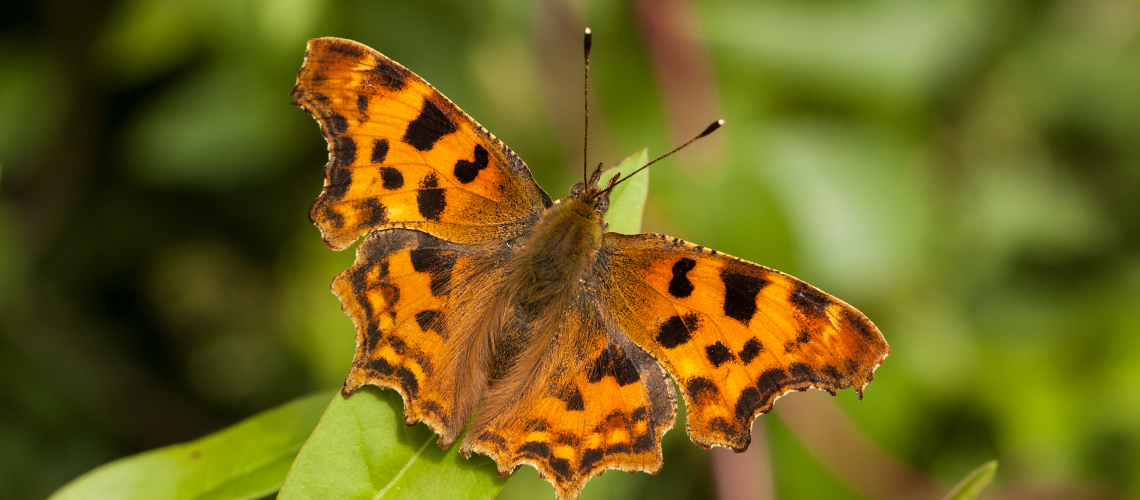 A Comma butterfly basking. © 2008 - 2019 Steven Cheshire.