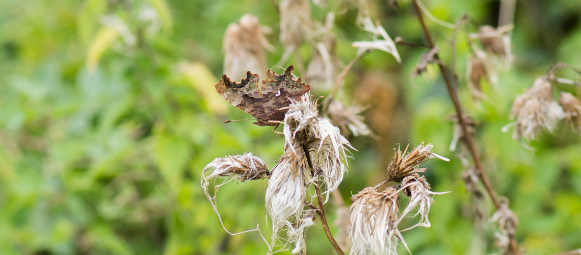 A Comma butterfly camouflaged against the seed heads of Creeping Thistle (<i>Cirsium arvense</i>) at Brandon Marsh Nature Reserve. © 2017 - 2019 Steven Cheshire.