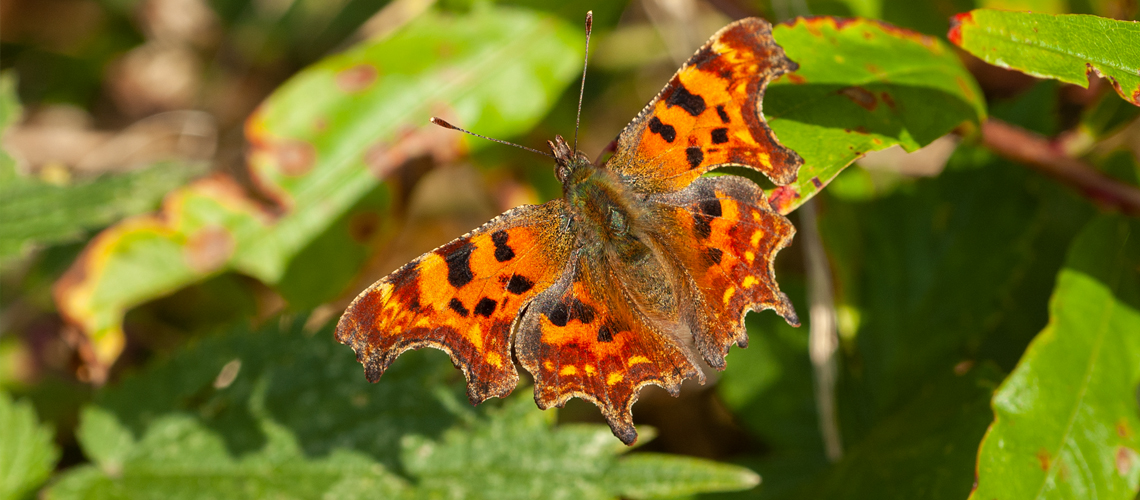 A female Comma basking - Weddington, Nuneaton. © 2007 - 2019 Steven Cheshire.
