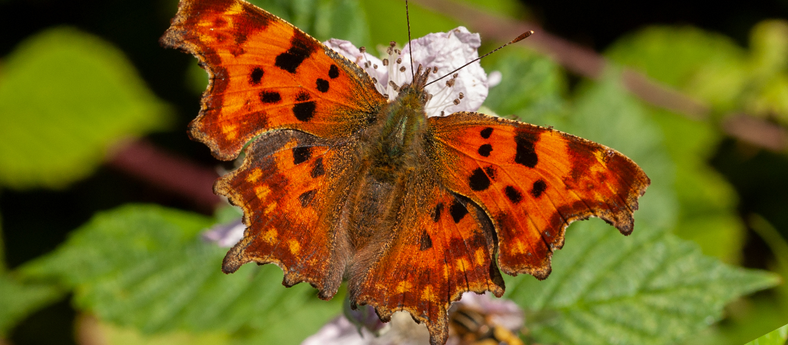 A female Comma feeding on Bramble - Weddington, Nuneaton. © 2007 - 2019 Steven Cheshire.
