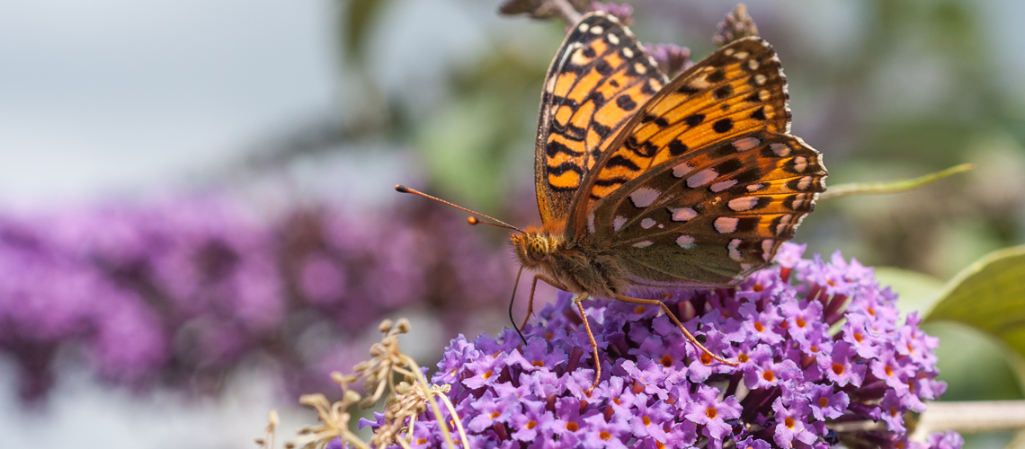 A male Dark Green Fritillary feeding on the flowers of a large buddleia at Harbury North. © 2014 - 2019 Steven Cheshire.