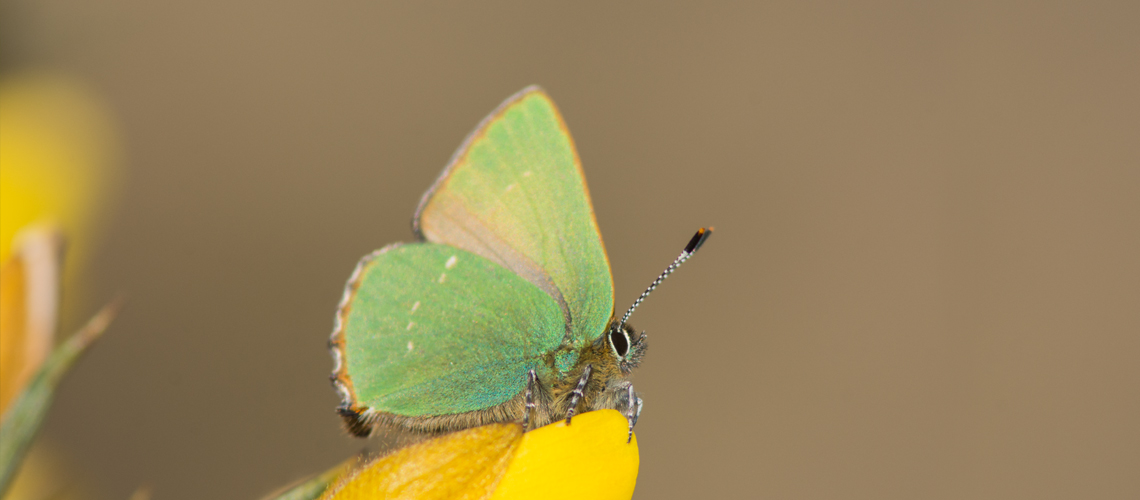 A Green Hairstreak angles its wings towards the sun at Cannock Chase, Staffordshire. © 2017 - 2019 Steven Cheshire.