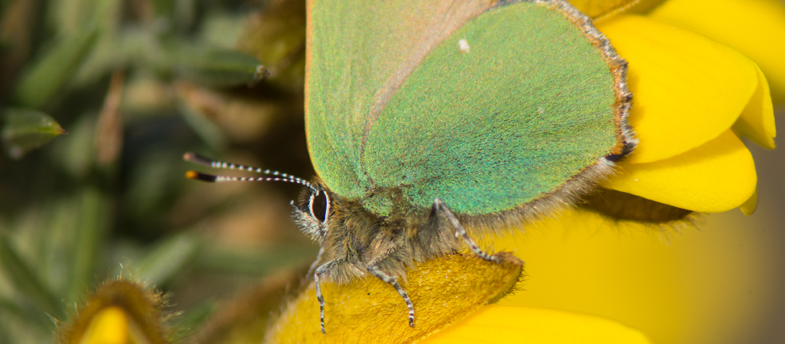 A close-up view of a Green Hairstreak at Cannock Chase, Staffordshire. © 2017 - 2019 Steven Cheshire.