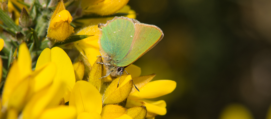 A Green Hairstreak at Cannock Chase, Staffordshire. © 2017 - 2019 Steven Cheshire.