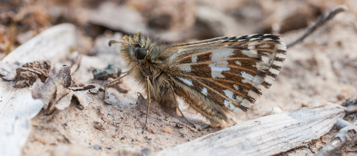 Grizzled Skipper resting at Snitterfield Bushes SSSI. © 2014 - 2019 Steven Cheshire.