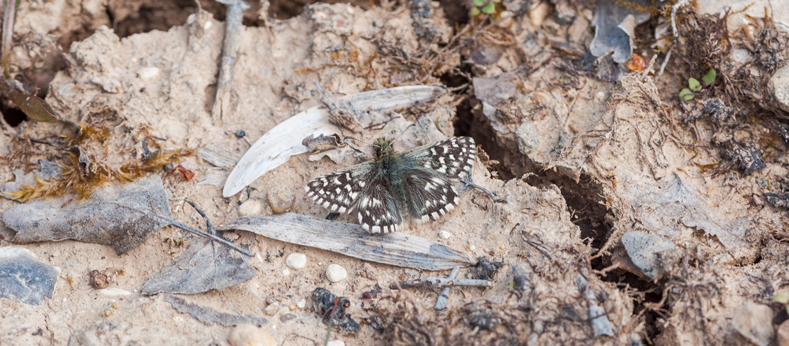 Grizzled Skipper basking on bare earth at Snitterfield Bushes SSSI. © 2014 - 2019 Steven Cheshire.