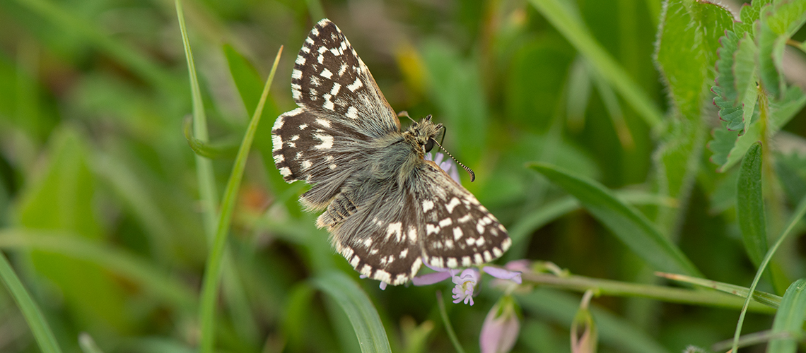 A male Grizzled Skipper at Ivinghoe, Buckinghamshire. © 2018 - 2019 Steven Cheshire.