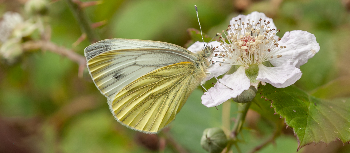 A Green-veined White feeding on Bramble at Grafton Wood, Worcestershire. © 2007 - 2019 Steven Cheshire.