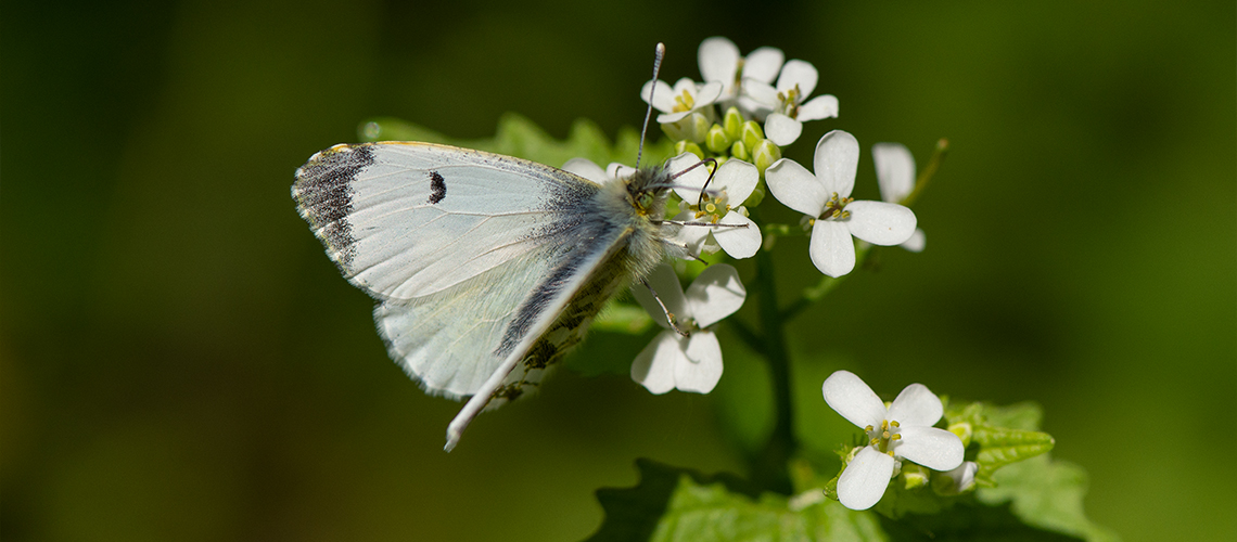 A female Orange-tip feeding on the flowers of Garlic Mustard (<i>Alliaria petiolata</i>) at Totternhoe Knolls, Bedfordshire. © 2019 - 2019 Steven Cheshire.