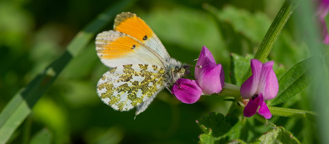 A male Orange-tip feeding on the flowers of Common Vetch (<i>Vicia sativa</i>) at Totternhoe Knolls, Bedfordshire. © 2019 - 2019 Steven Cheshire.