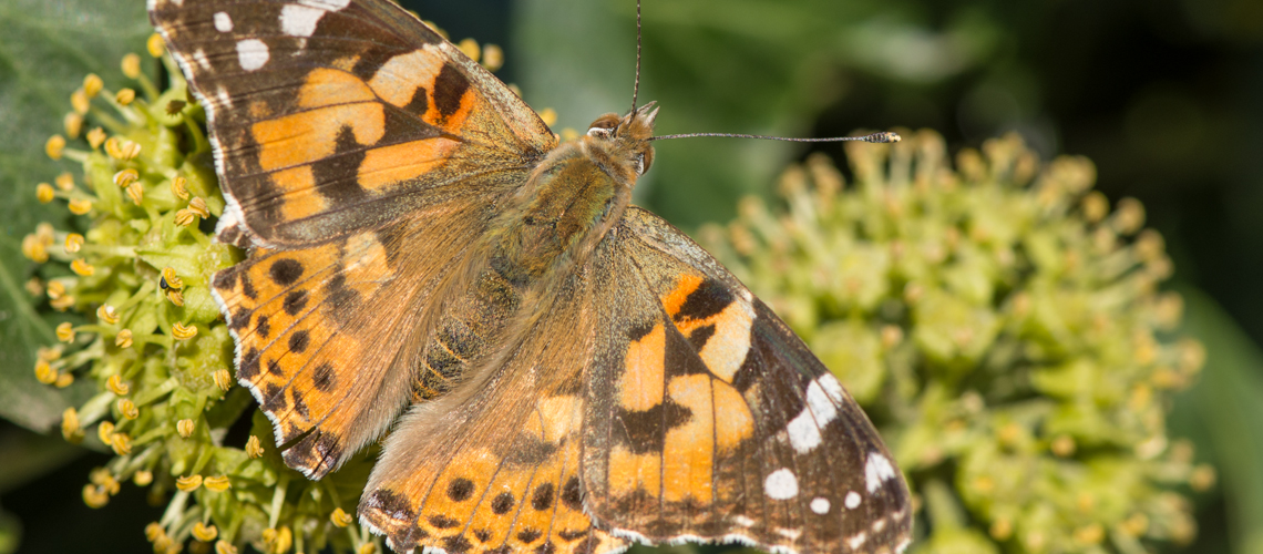 A Painted Lady feeding on Ivy in early September in Suffolk. © 2015 - 2019 Steven Cheshire.