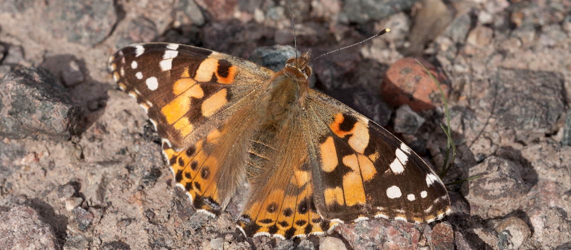 A female Painted Lady basking at Judkins Quarry, Nuneaton. © 2011 - 2019 Steven Cheshire.