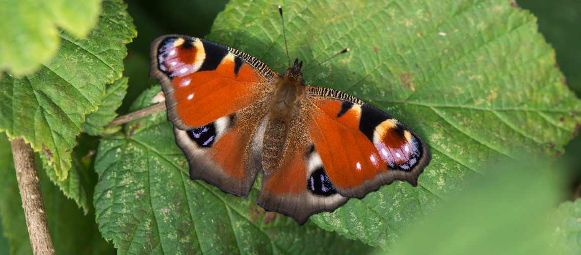 A Peacock butterfly at Brandon Marsh Nature Reserve. © 2017 - 2020 Steven Cheshire.