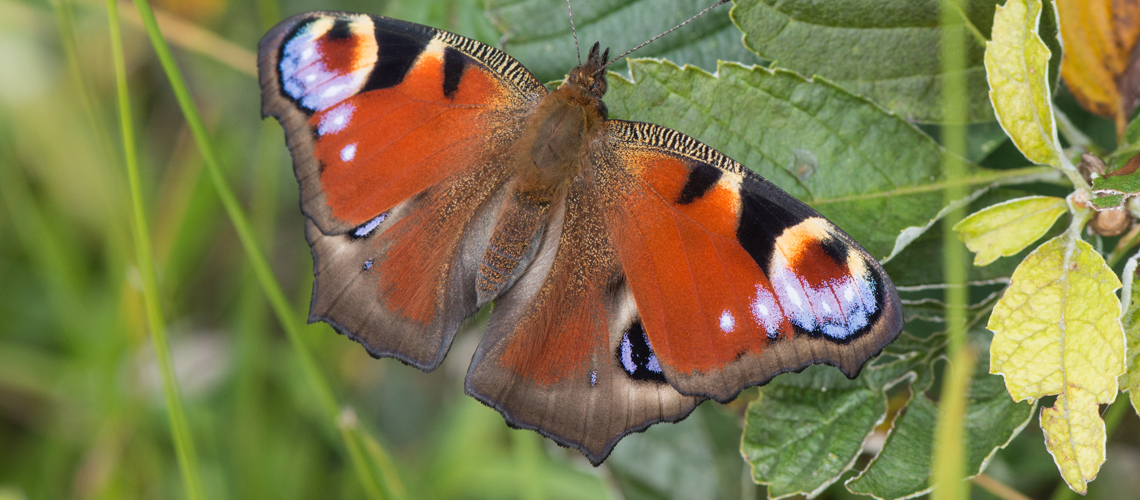 A Peacock butterfly at Rough Bank Nature Reserve, Gloucestershire. © 2016 - 2020 Steven Cheshire.