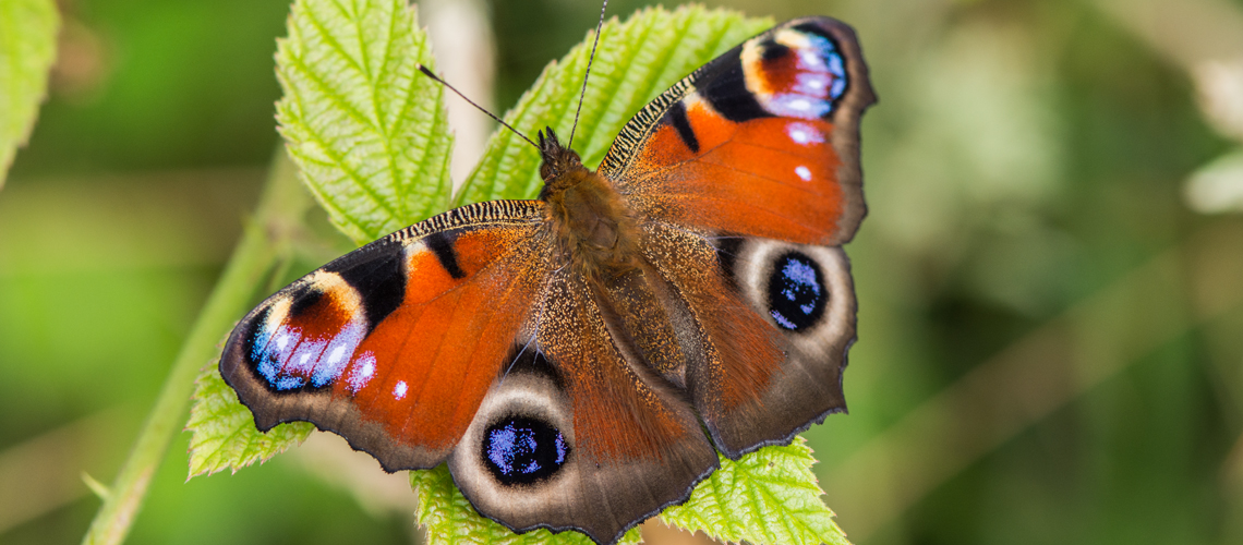 A Peacock butterfly basking at Ryton Wood. © 2015 - 2020 Steven Cheshire.