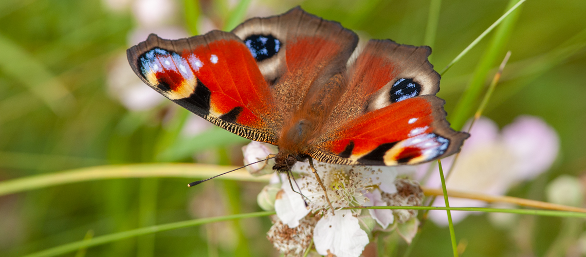 A Peacock butterfly feeding on Bramble at Ryton Wood. © 2007 - 2020 Steven Cheshire.