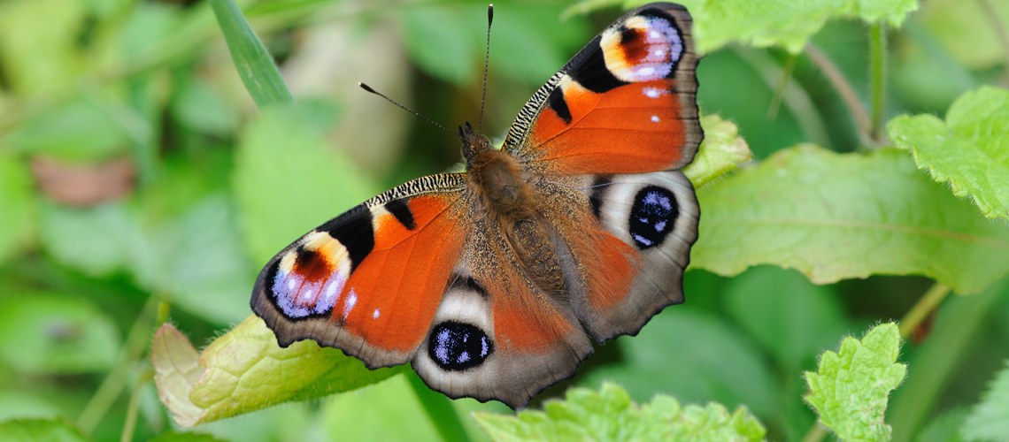 A Peacock butterfly basking. © 2009 - 2020 Steven Cheshire.