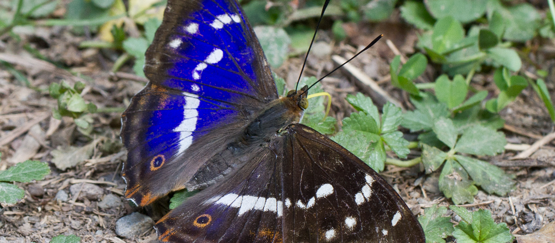A male purple emperor at Oversley Wood. © 2019 Keith Warmington.