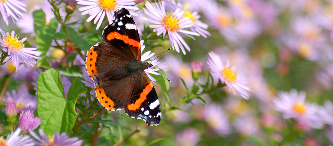 A female Red Admiral feeding on Michaelmas Daisy in a garden a Pillerton Priors. © 2013 - 2019 John Carter.
