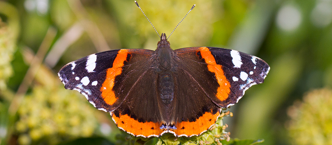 Red Admiral basking. © 2020 Keith Warmington.