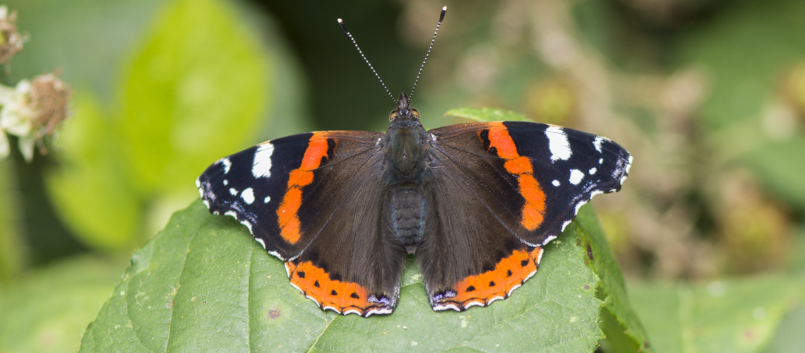 A newly emerged female Red Admiral basking in a woodland glade. © 2020 Steven Cheshire.